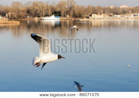 Seagull Wit Ring Over The Water