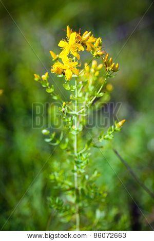Green Grashopper On Yellow St Johns Flowers