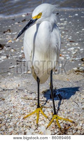 Egret on Florida Beach