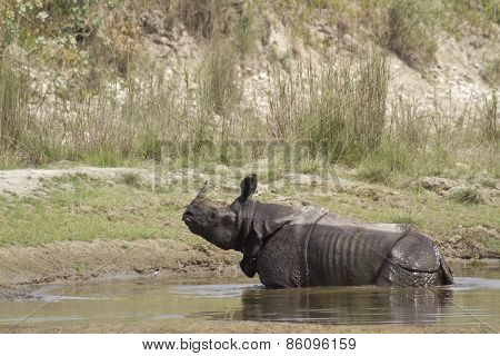 Greater One Horned Rhinoceros In Bardia, Nepal