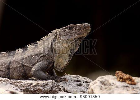Iguana On Black