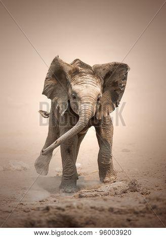Baby Elephant (Loxodonta Africana) mock charging - Etosha National Park (Namibia)