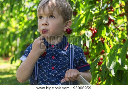 Little Boy Picking And Eating Cherries