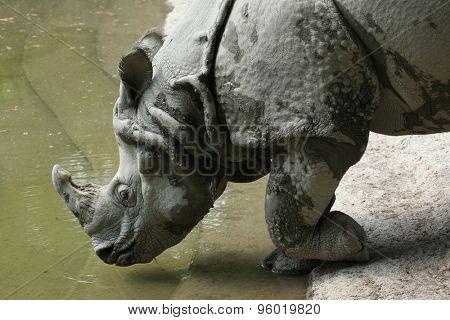 Indian rhinoceros (Rhinoceros unicornis). Wild life animal.