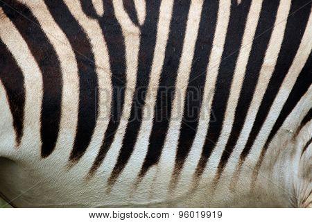 Hartmann's mountain zebra (Equus zebra hartmannae) skin texture. Wildlife animal.