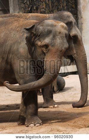 Two Indian elephants (Elephas maximus indicus). Wildlife animal.