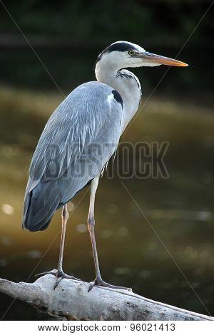 Great blue heron (Ardea herodias). Wild life animal.