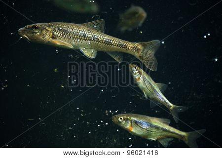 Gudgeon (Gobio gobio) and spirlin (Alburnoides bipunctatus). Wildlife animal.