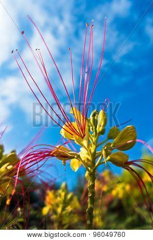 Decorative colorful dwarf powder puff plant at sunny morning