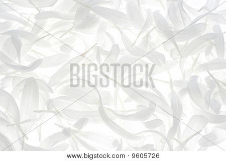China Aster Blütenblätter