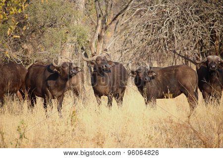 Buffalo bond