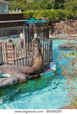 Feeding Of California Sea Lion In Ueno Zoo, Tokyo