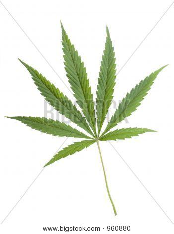 marijuana (cannabis)leaf on the white studio backgro poster