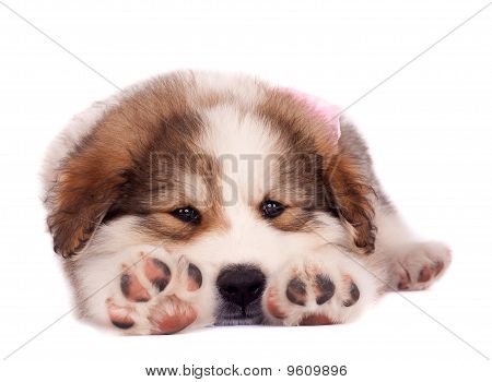 picture of a sleepy bucovinean sheperd puppy stretching on a white background poster