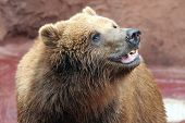 closeup of big brown bear in a zoo poster