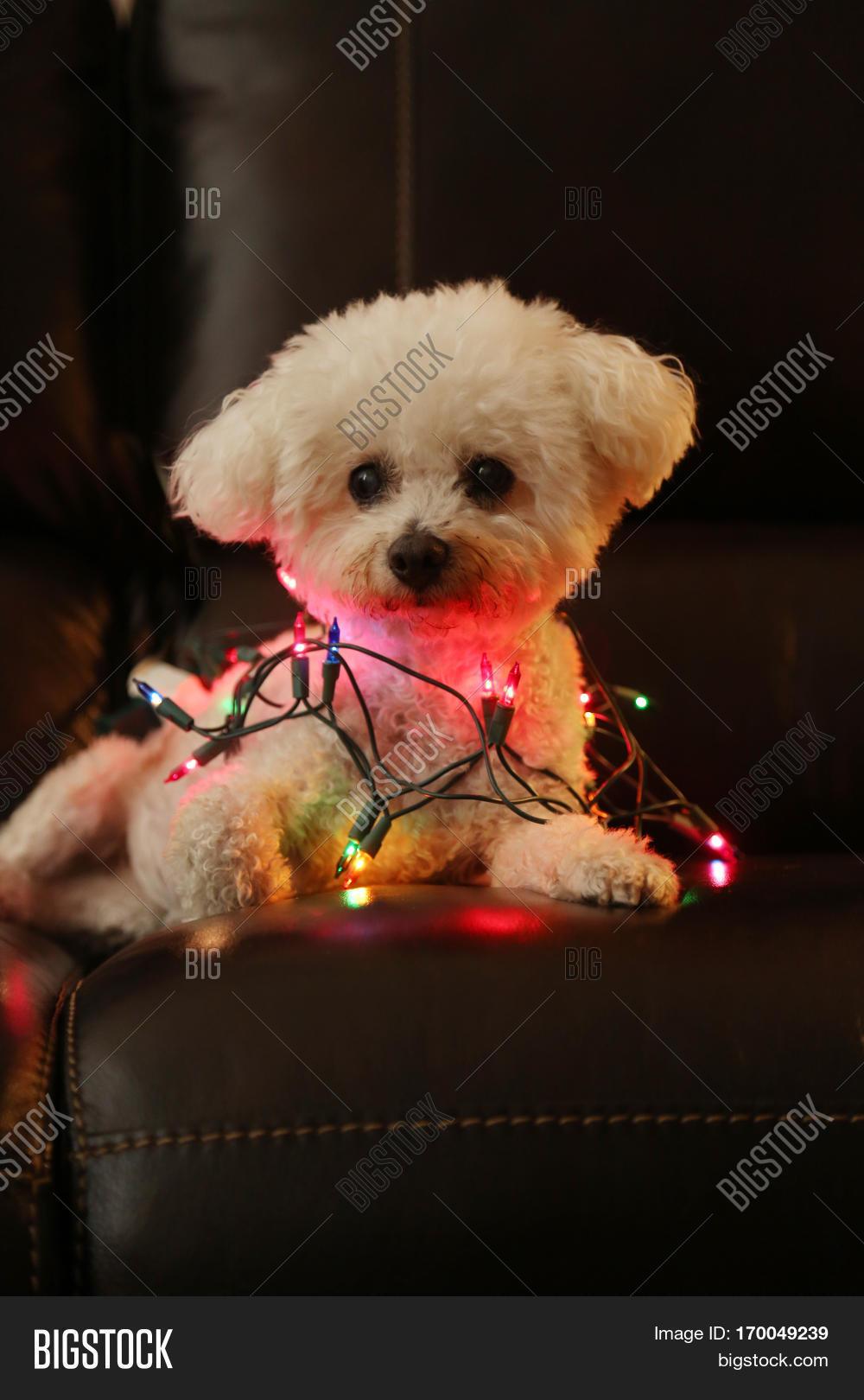 dog with christmas lights bichon frise dog with colorful mini christmas lights focus on