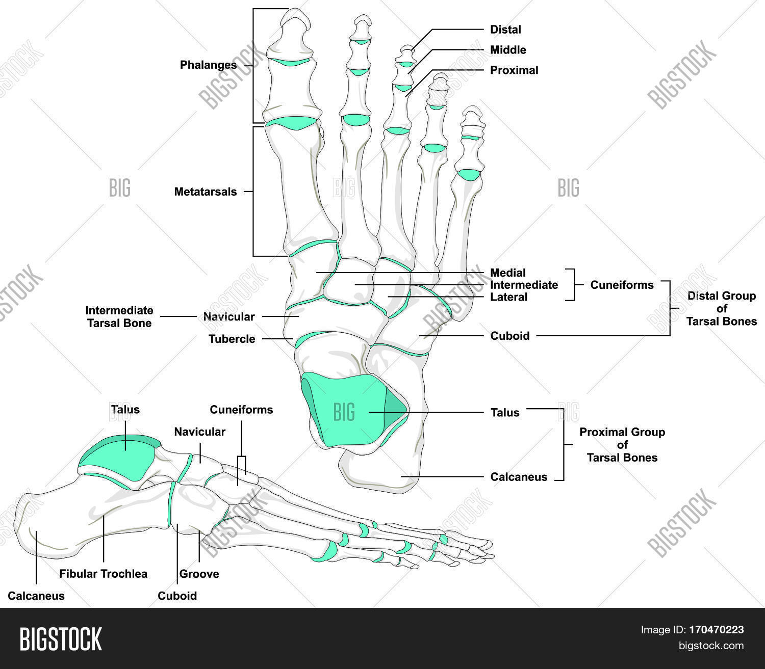 Human Foot Bones Image Photo Free Trial Bigstock