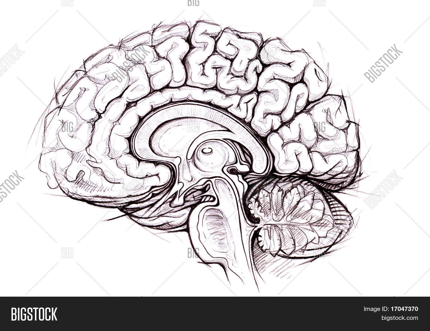 Human Brain Anatomy Image Photo Free Trial Bigstock