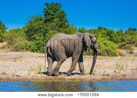 Chobe National Park in Botswana. The concept of exotic tourism. African elephant -  loner on a watering place in the Okavango Delta