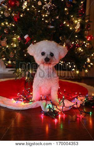 Christmas Dog with Colored Lights.