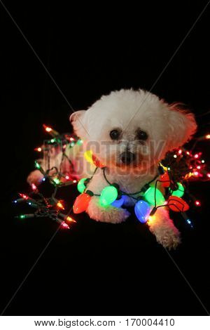 A beautiful Bichon Frise Dog sits against black velvet white colored Christmas lights. Christmas Lights of Blue, Green, Red, Yellow, and Orange light up a white dog on black velvet.