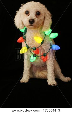 A cute female bichon poodle aka a Bichapoo dog wears colorful Christmas lights while sitting on black velvet.