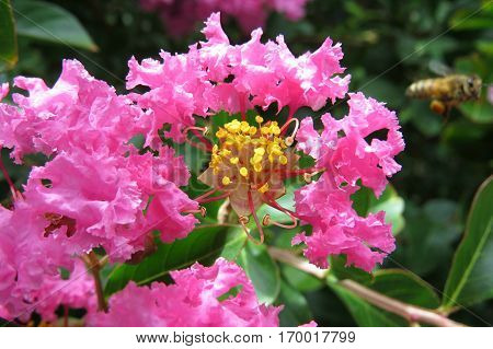 Pink Crepe Myrtle Crape flower blossoms close-up petals and stamen with bee