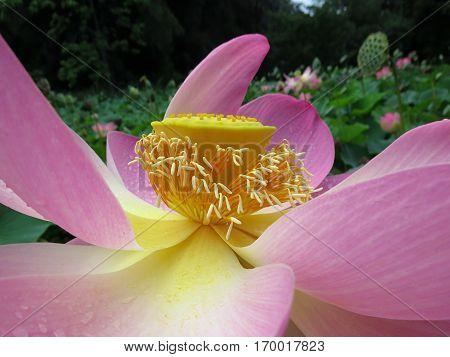 Exotic Pink Lotus flower in park garden pond close-up of middle pollen stamen