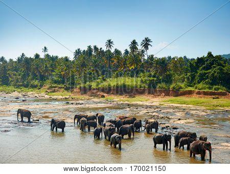 Elephants bathing. Sri lankan elephants in the river