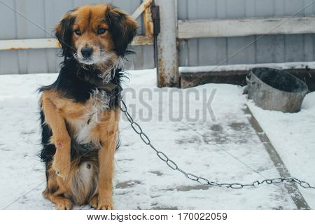 Mongrel dog on a chain with a wounded paw