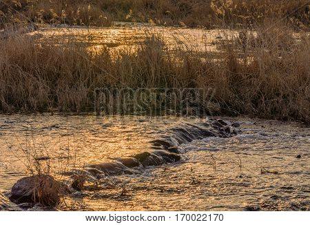 Landscape of sallow river with a rocky riverbed and tall golden color reeds and the evening sun reflecting in the water