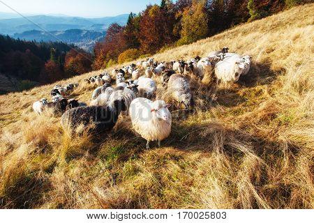 A flock of sheep grazes on a field.