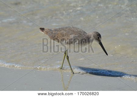 Pretty shorebird playing along the water's edge in Florida.