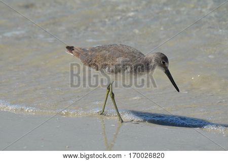 Pretty shorebird playing along the water's edge in Florida.