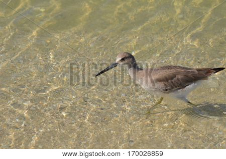 Gorgeous shorebird wading along in shallow shore water.