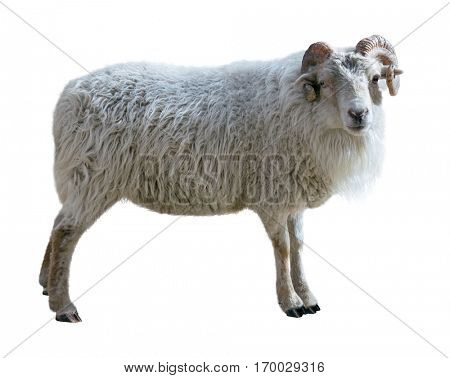 Sheep with thick hair and twisted horns looks in the picture. Isolated over white background