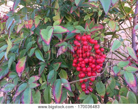 red berries - Heteromeles arbutifolia - Toyon berries
