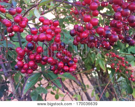 Red Berries On A Tree In Winter