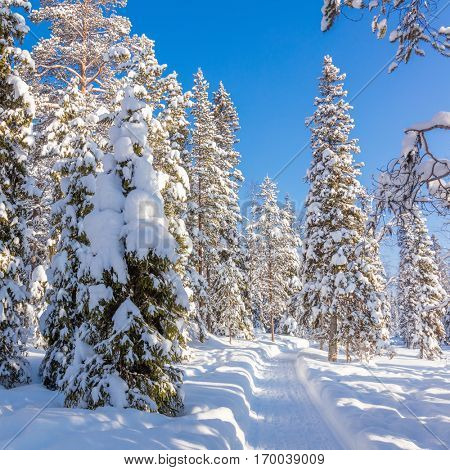 Beautiful Winter sunny weather in forest with lots of snow and path for walking or skiing, winter landscape