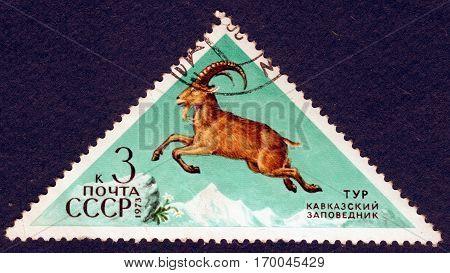 USSR - CIRCA 1973: Postage stamp printed in USSR shows Caucasian tur (lat. Capra caucasica). The series