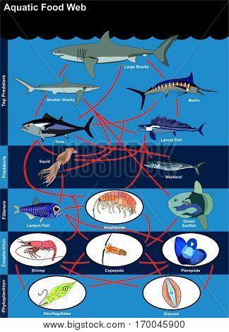 Vector Aquatic Food Web lives in oceans open seas including top predators filterers zooplankton phytoplankton with examples shark marlin tuna lancet lantern fish squid mackerel sunfish shrimp diatoms