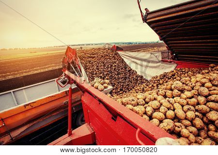 A pile of potatoes on a trailer with vintage tractor.
