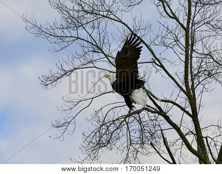 Bald Eagle landing in tree