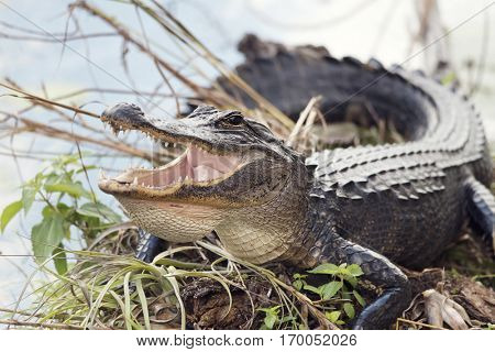 American Alligator Basking with its Mouth Open