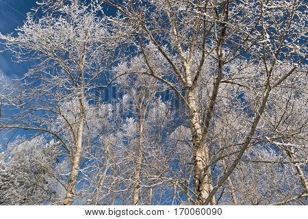 Winter Photo Of Blue Sky Surrounded By The Treetops