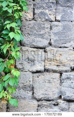 Vine Leaves On Wall