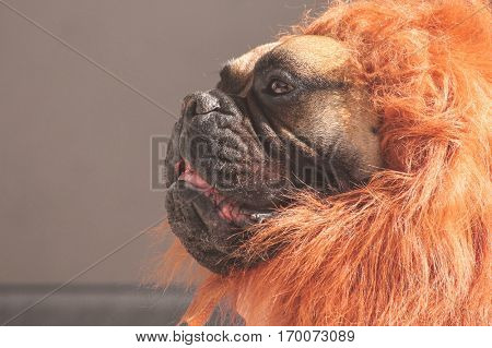 a large bull mastiff boxer in a lion costume toned with a retro vintage instagram filter