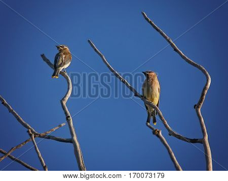 two cedar waxwings sitting in a tree with a beautiful blue sky background on a summer day