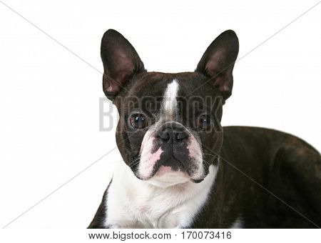 a boston terrier isolated on a white background studio shot