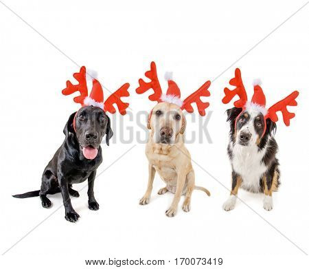 three dogs dressed up in reindeer antlers for christmas on a white background studio shot, great for holiday greeting cards or calendars